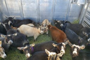 Domestic Livestock Transportation Services
